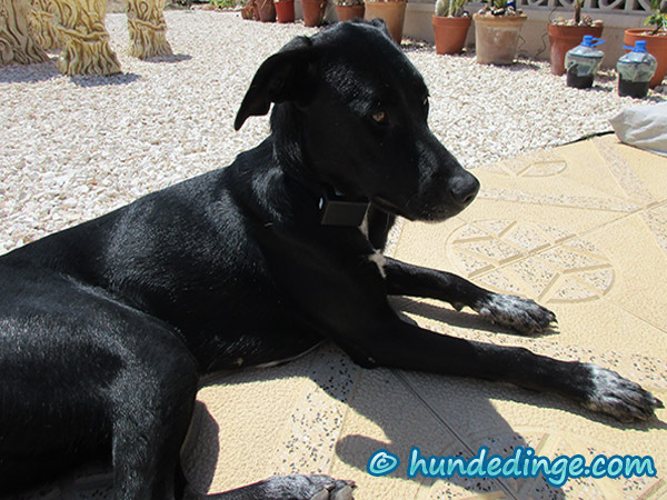 hund-mit-signalton-halsband